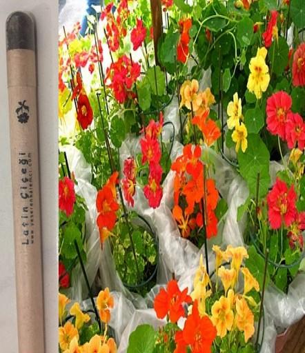Latin Çiçeği Tohumlu Kalem