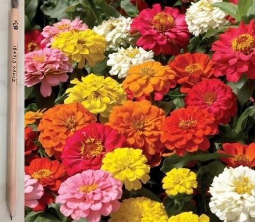Zinya Çiçeği Tohumlu